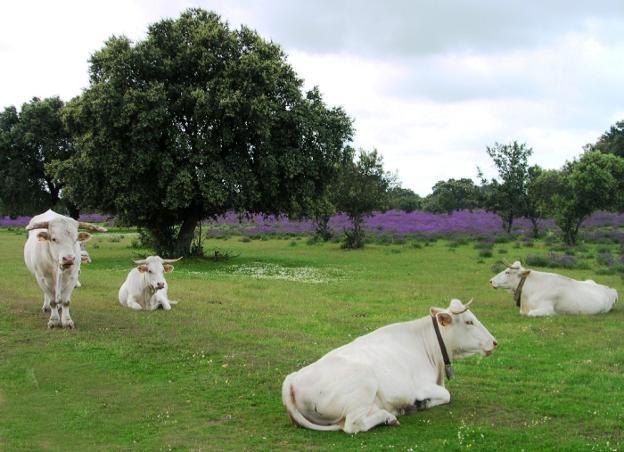 La superficie de dehesa situada bajo las copas de los árboles también tiene consideración de pastos a partir de este año